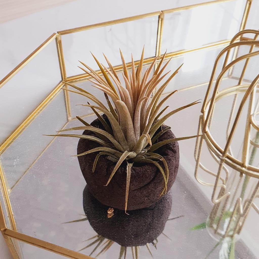 갑조네 틸란드시아 모음 에어플랜트 공기정화식물 인테리어 식물 행잉플랜트  리뷰 후기